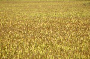 campo de arroz amarelo.jpg